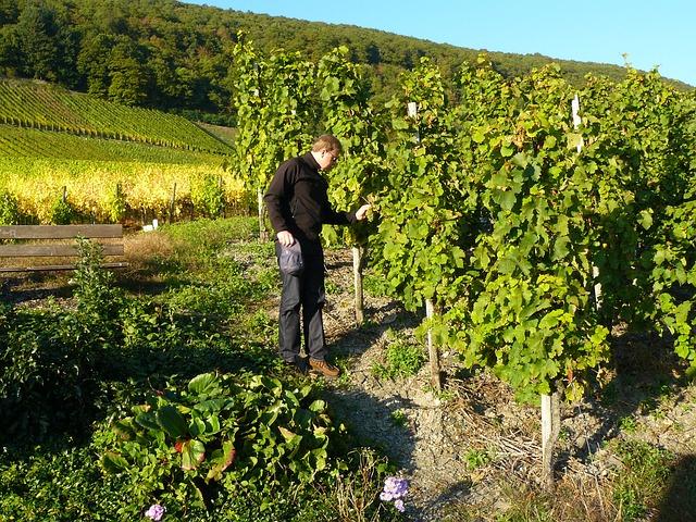 apprenti-sommelier-actualites-vins-pessac-leognan-faire-du-vin-raisins