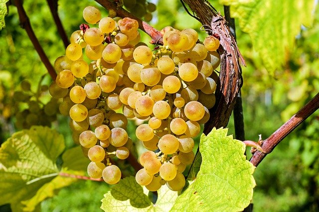 vins-pessac-leognan-cepage-pessac-leognan-muscadelle-raisin